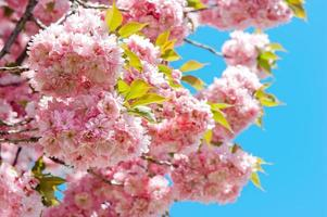 blossoming of pink cherry tree over blue sky