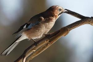 Jay sneaks up on branch photo