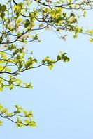 White flowering dogwood tree (Cornus florida) in bloom in sky