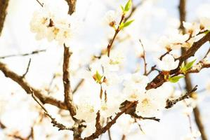 branch of cherry tree with many flowers over blue sky photo