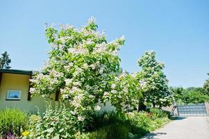 tree catalpa with blossom on blue sky at sunny day photo