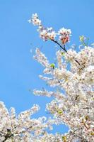 White and Pink Cherry Blossoms in Front of Blue Sky
