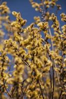 Willow or osier pussy blooming catkins on blue sky background