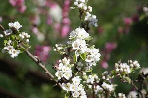 Williams pear Tree white blossoms, pear blossom under blue sky photo