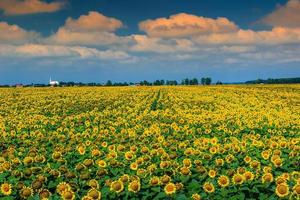 Stunning field of sunflowers and cloudy sky,Buzias,Romania,Europe