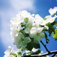 rama de manzana blanca y cielo azul. de cerca. foto envejecida.
