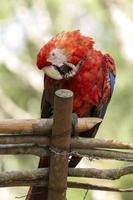 Parrot in Copan Ruinas