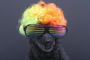Rainbow Wig and Glasses on Poodle
