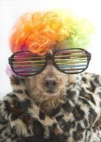 Rainbow Poodle with Leopard Print Coat
