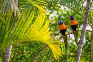 Australian beautiful rainbow lorikeets
