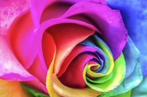 Rainbow Rose Close Up