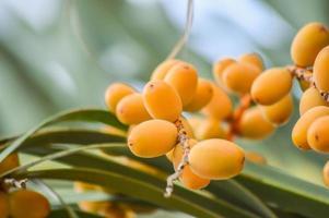 Date Palm Tree photo