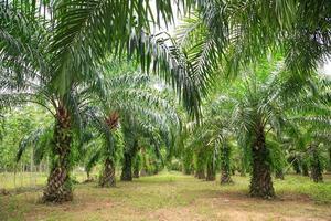 Plantación de aceite de palma. foto