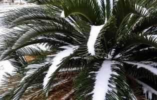 Snow Covered Sago Palm Tree Winter in the South