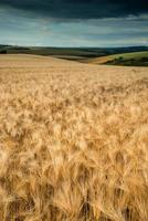 Stunning wheat field landscape under Summer stormy sunset sky photo