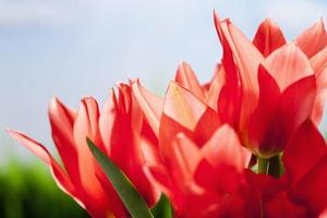 Red tulips in meadow against blue sky with clouds photo