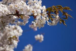 flor de cerezo teñida de rosa en un cielo azul profundo foto