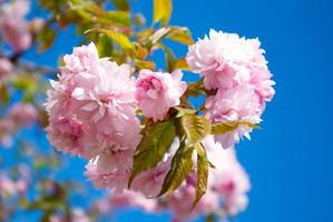 a árvore de sakura floresce na primavera contra um céu azul