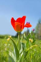 red tulips on a lawn with a blue sky