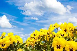 yellow pansy flowers against blue sky photo