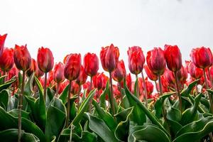 field of tulips with a blue sky photo