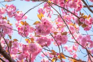 Blooming double cherry blossom tree and blue sky photo