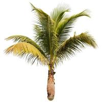 Coconut white background photo