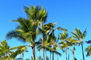 Group of Coconut Trees