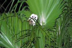 Barn Owl in Top of Palm photo