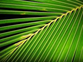 Coconut leaf photo
