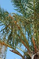 Date palm photo