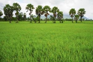 Sugar palm trees on the paddy field photo
