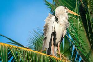 stork on a palm tree. close up