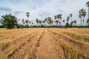 palmeras en el campo de arroz después de la cosecha