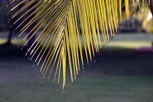 hojas de palmera con gotas de agua en las puntas en los trópicos