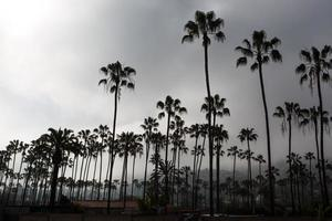 Palms in California photo