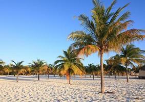 Palm trees on the white sand. Playa Sirena. photo