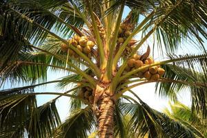 Coconut trees in rural Vietnam photo