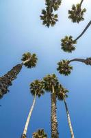 Tall palm trees from below in California