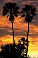 Palm trees silhouetted photo