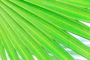 Green palm tree leaf  background