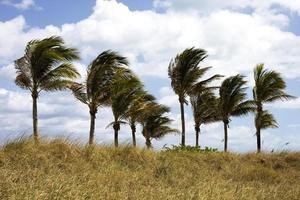 Palm trees swaying in the wind photo