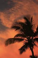 Silhouette of palm tree at sunset photo
