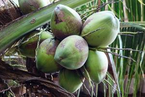 green coconuts hanging on palm tree