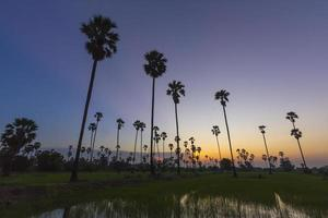 Sugar palm tree landscape in twilight