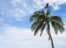 Coconut Tree 5 photo
