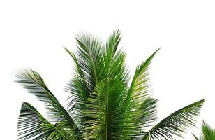 Primer plano de hojas de cocotero aislado sobre fondo blanco. foto