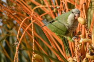 The monk parakeet and date