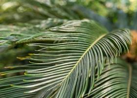 Closeup of sago palm leaves.