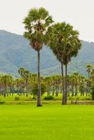 Palm trees on a green rice field